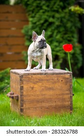 adorable french bulldog puppy standing on a box