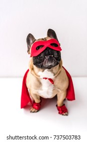 adorable french bulldog in superhero costume sitting on white
