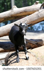 Adorable and friendly black and white small goat photographed in Korkeasaari, Helsinki. In this photo you can see the goat standing on top of a tree trunk during a sunny summer day. Color portrait.