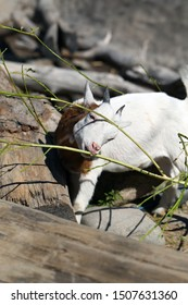 Adorable and friendly small goat photographed in Korkeasaari, Helsinki. In this photo you can see cute white young goat with horns eating tree peel. Sunny summer day is perfect for visiting a zoo.