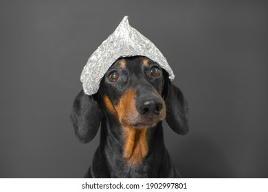 Adorable funny black dachshund dog with long ears wearing tin foil cap poses for camera on grey background extreme closeup