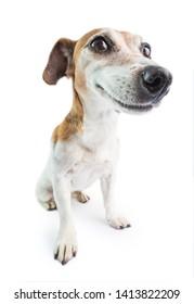 Adorable perro sonriente. Fondo blanco. No te preocupes, sé feliz. comportamiento de emociones positivas