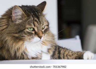 adorable furry feline, siberian kitten brown tabby version