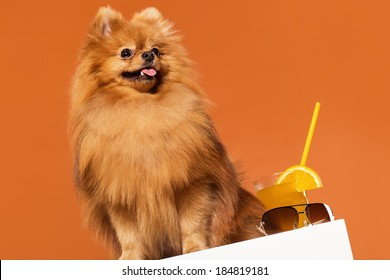 Adorable, furry spitz with juice