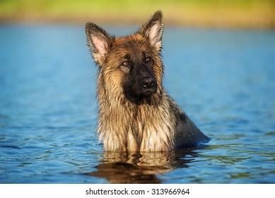 adorable german shepherd dog in the water