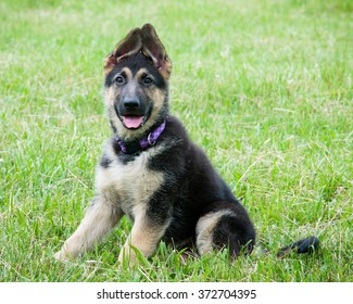Adorable German Shepherd puppy smiling in grass field