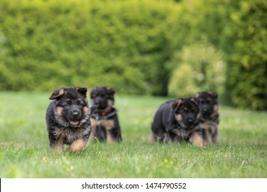 Adorable German Shepherd puppys posing in summer