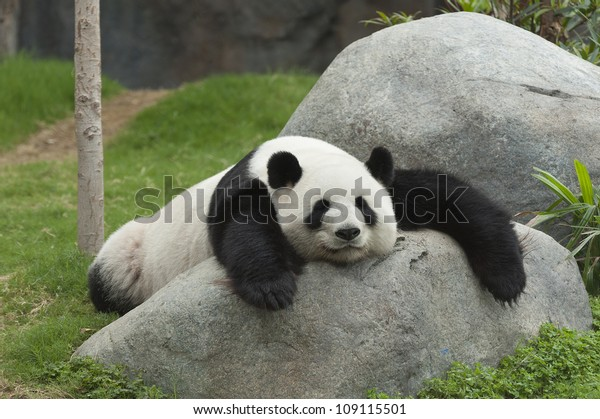 Adorable giant panda bear sleeping