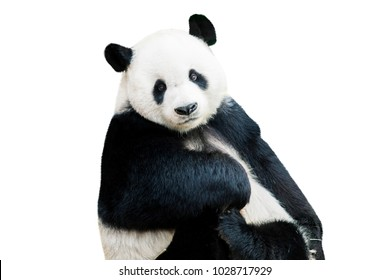 Adorable giant panda facing camera isolated over white
