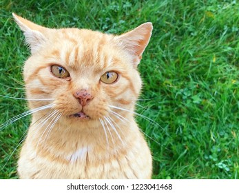 Adorable ginger tom cat looking cute with his mouth partially open. With grass in the background and space for test.