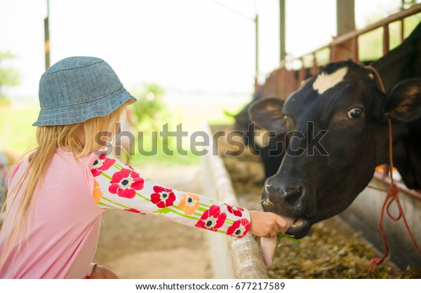 Adorable girl playing with cow on farm
