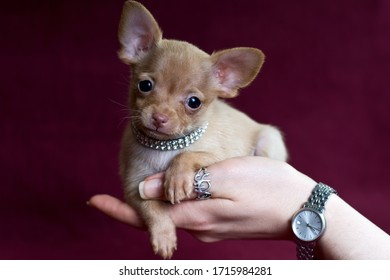 Adorable girl of short-haired Russkiy toy (Russian toy terrier) puppy on a female hand on a dark red background.