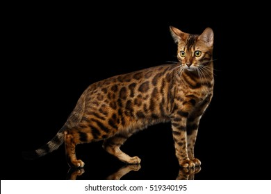 Adorable Gold Bengal Cat with rosette Standing on Isolated black background