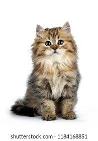 Adorable golden British Longhair cat kitten sitting front view, looking straight at lens isolated on white background