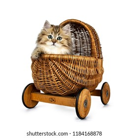 Adorable golden British Longhair cat kitten sitting in brown stroller / basket on wheels with one paw over edge, looking straight in camera isolated on white background