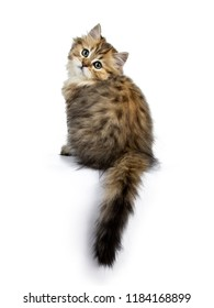 Adorable golden British Longhair cat kitten sitting backwards with tail hanging down from edge, looking over shoulder straight in camera isolated on white background