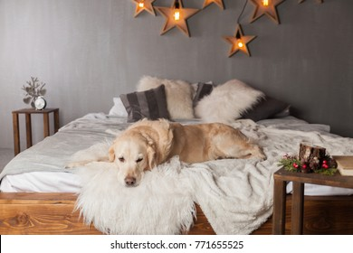 Adorable Golden Retriever Dog Light Pastel Gray White Scandinavian Textile Decorative Coat Pillows for Modern Bed in House or Hotel. Christmas and Pets Care Friendly concept. Holidays Decoration Stars