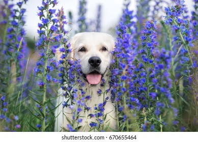 adorable golden retriever dog on a field of flowers