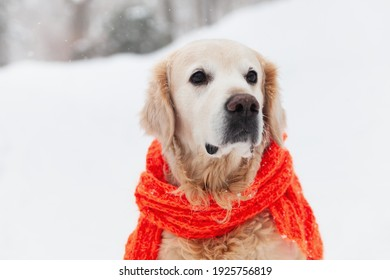 Adorable golden retriever dog wearing red scarf sitting on snow. Sunny weather, winter in park. Pets care concept.