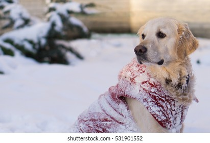 Adorable golden retriever dog wearing warm red coat. Winter in park. Selective focus, copy space, horizontal.