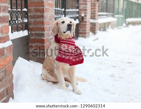 Adorable Golden Retriever Dog Wearing Red Stock Photo (Edit Now
