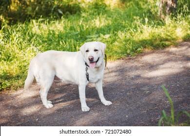 Adorable Golden Retriever on green grass, outdoors