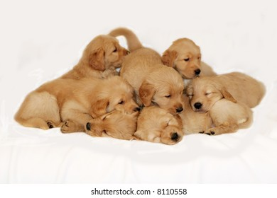 adorable golden retriever puppies in a pile