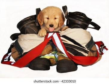 adorable golden retriever puppy in between fireman's boots and pants