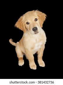 Adorable Golden Retriever puppy dog on a black studio background