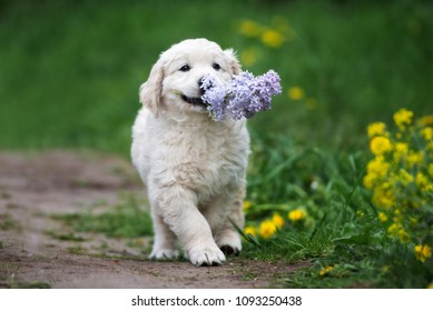 adorable golden retriever puppy walking with lilac flower in his mouth