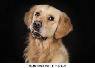 Adorable Golden Retriever Studio Portrait