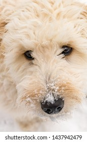 An adorable Goldendoodle dog sitting in fresh snow looking at the camera room for copy.