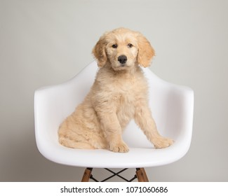Adorable Goldendoodle puppy sitting on chair