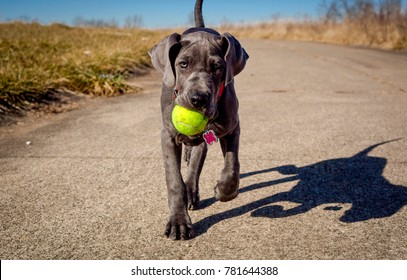 An adorable great Dane puppy carrying a tennis ball in its mouth walks towards the viewer