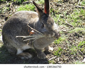 Adorable Grey Bunny Rabbit Carrying Dry Hay in its Mouth, Spring 2019