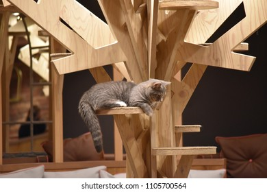 A adorable grey cat are lying on wooden shelf in Japanese cat cafe