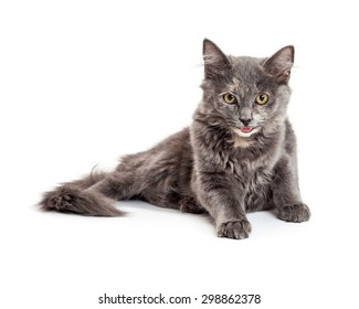 Adorable grey color kitten sitting up and looking slightly down with a smile. Place your product in front of her to have her look at it.