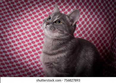 Adorable Grey Kitten Posing Portraits Cute Stock Photo (Edit