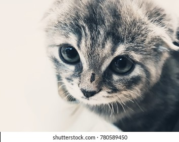 Adorable grey Scottish fold kitten