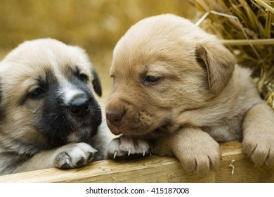 Adorable Group of sweet labrador Puppies playing around in straw an a farm yard
