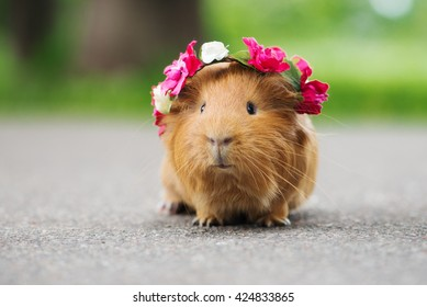 adorable guinea pig in a flower crown