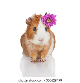 Adorable guinea pig with a flower on its head