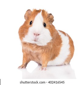 Adorable guinea pig  isolated on white background