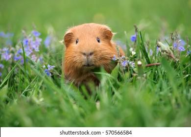 adorable guinea pig posing on grass