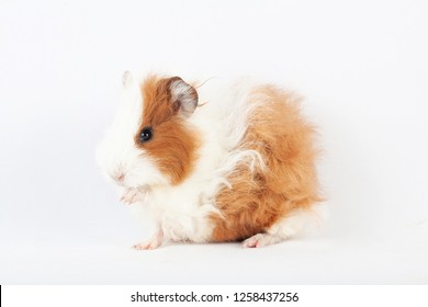Adorable guinea pig washes isolated on white background. pet rodent family.
