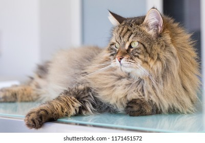 Adorable haired cat of siberian breed in livestock. Hypoallergenic domestic kitten with long hair, lying on a glass table