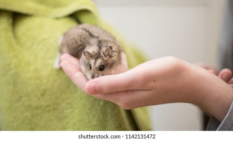 An adorable hamster crawling into a young girl's hand.