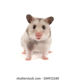 Adorable hamster isolated on white
