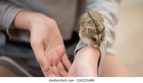 An adorable hamster scurrying down a girls arm.