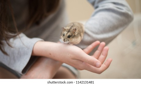 An adorable hamster scurrying on a young girl's arms.